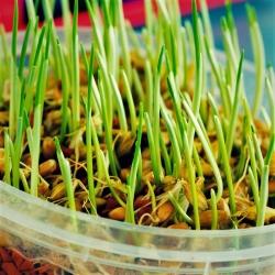 تنبت البذور - الشعير -