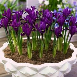 Reticulate iris - Purple Hill - 10 pcs