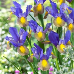 Hollandi iiris - Mystic Beauty - 10 tk -