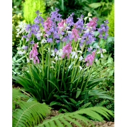 Squill - assorted colours - large package! - 100 pcs