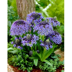 Portuguese squill - large package - 10 pcs