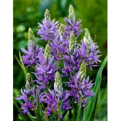 Camas, quamash - large package - 100 pcs; Indian hyacinth, camash, wild hyacinth