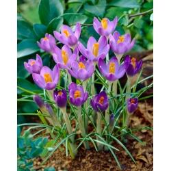 Crocus Barri Purple - suur pakk! - 100 tk -