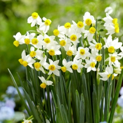Daffodil, narcissus 'Canaliculatus' - large package - 50 pcs