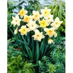 Narcis, narcis meniace sa farby - 5 ks -