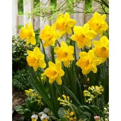 Narcis narcis 'Gigantic Star' - 5 ks -