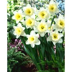 Daffodil, narcissus 'Ice Follies' - 5 pcs