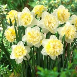 Narciso, narciso 'Rey de hielo' - 5 piezas -