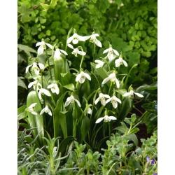 Zelená snežienka - 5 ks; Woronowova snežienka, Galanthus woronowii -