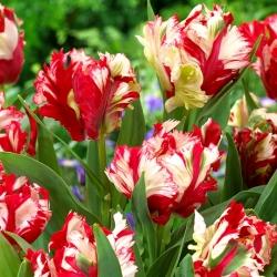 Tulip 'Estella Rijnveld' - 5 pcs