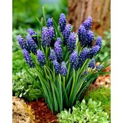 Grape hyacinth Neglectum - 10 pcs