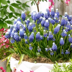 Armenian grape hyacinth Touch of Snow - 10 pcs