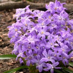 Bossier's glory-of-the-snow, purple-flowered - Chionodoxa Violet Beauty - large package! - 100 pcs; Lucile's glory-of-the-snow
