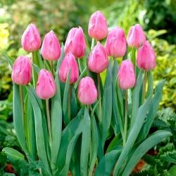 Tulip Aafke - 5 pcs