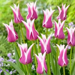 Tulip Ballade - 5 buah -