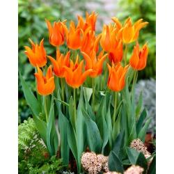 Tulip 'Ballerina' - 5 pcs