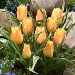 Tulip 'Batalinii Bright Gem' - 5 pcs