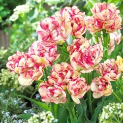 Tulpe 'Belicia' - 5 gab -