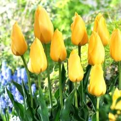 Tulip Big Smile - 5 piezas -