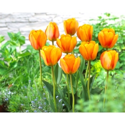 Тюльпан Blushing Apeldoorn - 5 шт. -