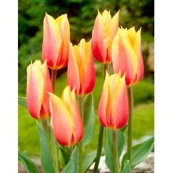 Tulip Blushing Beauty - 5 buah -