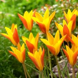 Tulbi Chrysantha Tubergeni pärl - 5 tk -