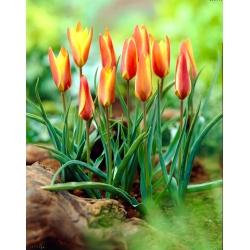 Tulip Clusiana Sheila - large package! - 50 pcs