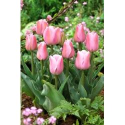 Tulip Evening Breeze - 5 pcs