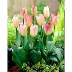 Tulip Flaming Purissima - 5 piezas -