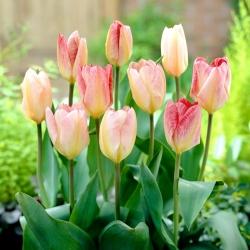 Tulip 'Flaming Purissima' - paquete grande - 50 piezas -