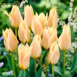 Tulip 'For Elise' - 5 piezas -