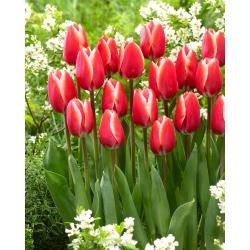 Tulip Kelly - 5 pcs