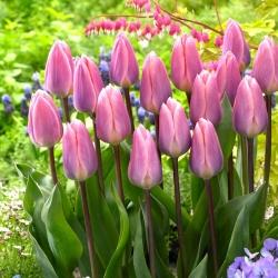 Tulip Light And Dreamy - 5 buah -
