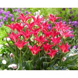 Tulip Madalyn - 5 buah -