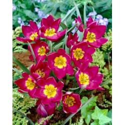 Tulip Pulchella Odalisque - 5 piezas -