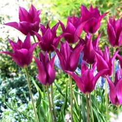Tulip Purple Dream - paket besar! - 50 buah -