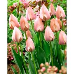 Tulip 'Salmon Van Eijk' - 5 pcs