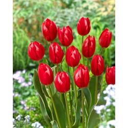 Тюльпан Искушение - 5 шт. -