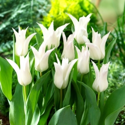 Tulip 'Tres Chic' - large package - 50 pcs