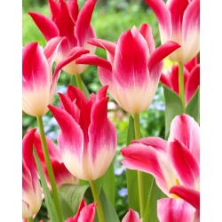 Tulip Whispering Dream - paket besar! - 50 buah -