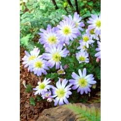 Anemonă balcanică - Splendor albastru - 8 buc; Floarea vântului grec, floarea vântului de iarnă -