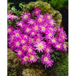 Anemonă balcanică - Violet Star - 8 buc; Floarea vântului grec, floarea vântului de iarnă -