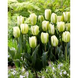 Tulip Green Spirit - 5 pcs