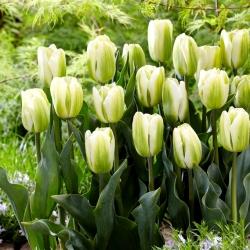 Tulip 'Green Spirit' - large package - 50 pcs