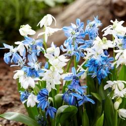 Siberian squill - set biru-putih - 100 pcs -