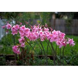 Amaryllis belladonna, Jersey lily - large package! - 10 pcs; belladonna-lily, naked-lady-lily, March lily