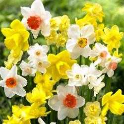 Narcissus - Mix - paquete de 5 piezas