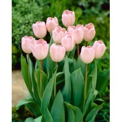 Tulipa Douglas Baader - paquete de 5 piezas