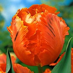 Тюльпан Orange Favourite - пакет из 5 штук - Tulipa Orange Favourite