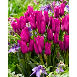Tulipa Purple Bouquet - Tulip Purple Bouquet - 5 lampu